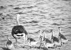 """It's a big world out there""! (Nina_Ali) Tags: nature blackandwhite monochrome wildlife gooseandgoslings goose goslings chick nina ali ninaali"