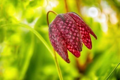 Fritillaria meleagris / Рябчик шахматный