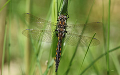 Épithèque canine / Beaverpond Baskettail (alainmaire71) Tags: insect odonata odonate dragonfly corduliidae epithecacanis épithèquecanine beaverpondbaskettail nature quebec canada