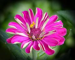 Australian Beauty! (Uhlenhorst) Tags: 2018 australia australien plants pflanzen flowers blumen blossoms blüten travel reisen unidentifiedplant coth ngc coth5 npc