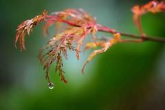 Last drop of autumn (Maureen Pierre) Tags: maple leaf drop autumn macro christchurchbotanicgardens