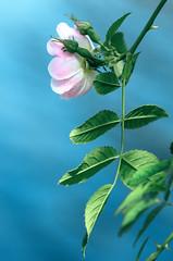 Flower (ErrorByPixel) Tags: k5 flora pentax leafs leaf blue nature flower