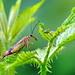 La mouche scorpion