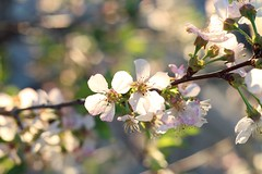 Cherry Blossoms (awsomdawson) Tags: macro flower blossom cherry