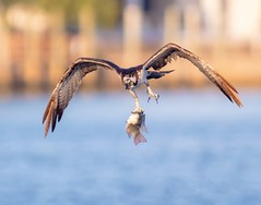 The Grab - osprey fishing in the Tampa Westshore District (Rickfans76) Tags: birds osprey fish birding birdsinflight talons water rickfanslerphotography tampa nature nikond500 natgeo animals wings