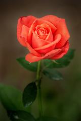 BSG Rose 3-0 F LR 6-10-18 J255 (sunspotimages) Tags: flower flowers roses rose orange orangeflowers orangeflower orangerose orangeroses nature