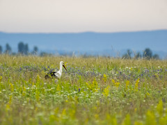 P6010727 (turbok) Tags: tiere vögel weisstorchciconiaciconia wildtiere c kurt krimberger