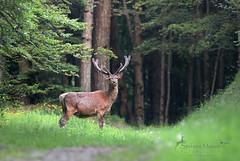 Cervo Nobile (Stefano Mazzei) Tags: cervi cervo cerf cervus deer stag corna velluto primavera natura toscana appennino