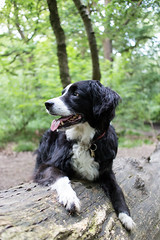 Totally Not Posed* (Captain192) Tags: swithland swithlandwoods woods trees bradgatecountrypark logs dog dogs collie spaniel spanielcolliecross bordercollie sprollie