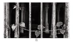 Spread (krishartsphotography) Tags: krishnansrinivasan krishnan srinivasan krish arts photography fineart fine art monochrome climbers plant leaf stem grill gate temple affinity photo mandapam perumalmalai tamilnadu india