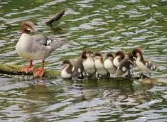 Merganser Family (Shelley Penner) Tags: birds vancouverisland mergansers common female mother chicks lineup onalog