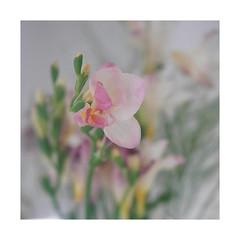 Beauty (irgendwiejuna) Tags: rolleiflex yashica fuji superia 100 expired pink fujicolor 120 mediumformat tlr analogue nopeople ishootfilm oldcamera keepfilmalive freesia freesien mittelformat filmphotography