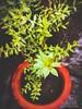 PicsArt_05-30-10.45.25 (Shotacapture) Tags: leaves tree landscape monochrome vintage greentint huawei macro shotacapture