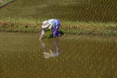Hand planting. (Yasuyuki Oomagari) Tags: field rice planting handplanting spring light oldlady reflection nikon d810 country countryside mountainside japan kyushu saga 日本 九州 佐賀県 田んぼ 田植え