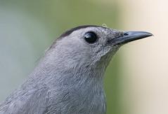 Gray Catbird (Laura Erickson) Tags: birds species passeriformes mimidae graycatbird anhingatrail miamidade evergladesnationalpark places florida dumetellacarolinensis