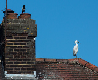 Magpie keeping an eye on an unusual visitor