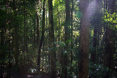Australia_2018-109.jpg (emmachachere) Tags: subtropical trees hike waterfall boatride springbrook australia rainforest kanagroo animals koala brisbane boat lonepinekoalasanctuary