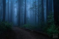 Redwood Blues (Paul Porter Photography) Tags: california northerncalifornia redwoods sequoia sequoiasempervirens coastalredwood forest evening bluehour night paul paulporter paulporterphotography paulporterphotocom eastbay oakland joaquinmillerpark trees