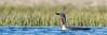 Red-Throated Diver (matthewprice172) Tags: birds iceland redthroateddiver wildlife nikon d850 600mm fl ed vr f4