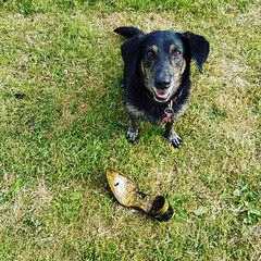 365-161 Look what I found (Christine Schmitt) Tags: 365the2018edition 3652018 day161365 10jun18 old shoe found dog proud
