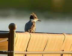 If Looks Could Kill . . . (Dr. Farnsworth) Tags: bird kingfisher beltedkingfisher hunting minnows shallow water westlake mi michigan spring june2014