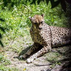 Cheetah (Hank888) Tags: hank888 chesterzoo 5dmkiii 5dmarkiii