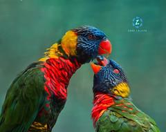 Lorikeet Pair (Zara Calista) Tags: birds parrot lorikeet pair couple grooming cute nikon ca california