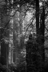 Redwoods B&W 1 (Liz Reed Photography) Tags: redwoods california klamath delnorte monochrome blackandwhite fog redwoodsnationalpark