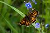 Melitae cf. aurelia (vvpopov) Tags: bulgaria butterfly nature insect vitosha vvpopov melitae