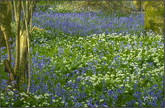 Blue And White.. (Picture post.) Tags: flowers bluebells ramsons wildgarlic woodland trees nature green