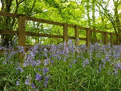 The bluebell fence-Happy Fence Friday (katy1279) Tags: happyfencefridayhfffencewoodenfencebluebellstreesgreen