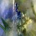 frosty flowers V