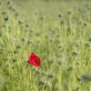 En terre étrangère *---- ° (Titole) Tags: poppy buds many nigellededamas nigella nigelladamascena red green squareformat titole nicolefaton friendlychallenges