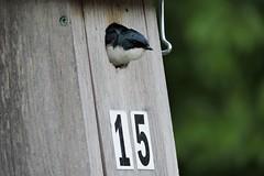 Hirondelle bicolore (Jean-François N.) Tags: hirondelle bicolore oiseaux parc michel chartrand hirondellebicolore parcmichelchartrand