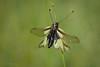 Libellen-Schmetterlingshaft (Libelloides coccajus) (AchimOWL) Tags: insekt insect tier tiere animal makro macro outdoor dmcgx80 gx80 natur nature lumix panasonic tagfalter postfocus ngc macrodreams schärfentiefe wildlife stack textur fauna libellenschmetterlingshaft schmetterlingshafte ascalaphidae netzflügler neuroptera neuflügler neoptera fluginsekt pterygota