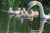 _KJM4876_20180526_192605 (KJvO) Tags: achterhoek cygnets groenloscheslinge jongezwanen knobbelzwaan meddo muteswan nederland swan water zwaan
