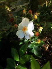 Rose flower, роза (Anna Gelashvili) Tags: цветокроза роза rose flower цветок flowers цветочки garden roseflower ვარდი თეთრი leaf лист ფოთოლი macro макрос თეთრივარდი plant