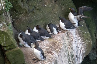 thick-billed murres (mostly)