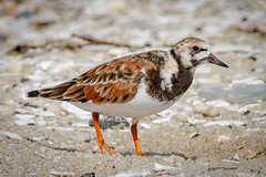 Ruddy Turnstone (tresed47) Tags: 2018 201805may 20180515njreedsbeachbirds aquatic birds canon7d capemay capemaynwr content crab folder horseshoecrab may newjersey peterscamera petersphotos places reedsbeach ruddyturnstone season shorebirds spring takenby us ngc