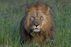 CA3I3451-Lion (tfells) Tags: lion feline cat safari nature mammal wildlife tanzania africa serengeti pantheraleo