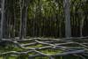 Nienhäger Holz (michael_hamburg69) Tags: nienhagen germany deutschland mecklenburgvorpommern rostock wald wood trees gespensterwald nienhägerholz laubbäume buchen eichen mischwald oak beech tree