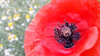 The Poppy....