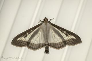 Buxusmot - Box tree moth - Buchsbaumzünsler