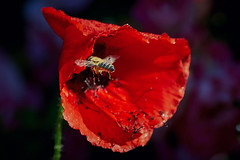 Leftovers (wulifou) Tags: bee poppy poppies flower flowers nature macro spring closeup bokeh sonya7iii canonef3004lis metabonesiv insect
