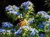 butterfly on the plants (panoskaralis) Tags: butterfly flower wildflowers blue plants wildplants green macro coloful insect bugs outdoor nature nikon nikoncoolpixb700