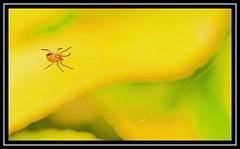 """Spider Sense Is All a-Tingle...!"" (NikonShutterBug1) Tags: nikond7100 tokina100mm entomology nature wildlife bokeh spe smartphotoeditor closeup macro spider insects arachnology araneology web yellow"