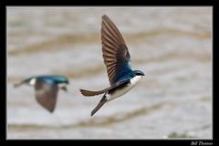Tree Swallow-2 (billthomas_steel) Tags: treeswallow tachycinetabicolor swallow bird hunting flying river wildlife britishcolumbia canada canon eos7dmarkii