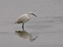 One Plumed Little Egret, Rt. 9 Bridge (Bill Bunn) Tags: littleegret falmouth maine