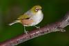 20180604_0090_1D3-600 Silvereye (johnstewartnz) Tags: canon canonapsh apsh eos 1dmarkiii 1d3 1dmark3 1d 1dmkiii 1dmk3 600mm 600mmf4 600 ef600mmf4lis canon600mmf4 canonef600mmf4lisusmlensgroup wildlifecanon600mmf4 bird birds flash tripod rain raining 100canon zosteropslateralis waxeye whiteeye blightbird tauhou silvereye betterbeamer betterbeamerflashextender