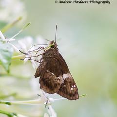 Hyarotis adrastus - Tree Flitter (57Andrew) Tags: hongkong lepidoptera hesperiidae butterfly thepeak hyarotisadrastus treeflitter